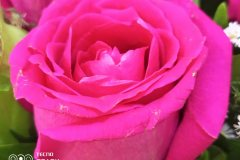 Tecno-Spark-7-Pro-camera-sample-picture-in-review-by-Revu-Philippines-rose-2x-zoom