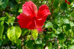 Vivo-X70-5G-camera-sample-picture-in-review-by-Revu-Philippines-red-flower-1x