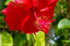 Vivo-X70-5G-camera-sample-picture-in-review-by-Revu-Philippines-red-flower-2x-zoom